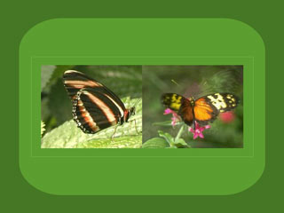 Download Free Butterflies Wallpaper